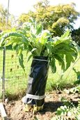 Cardoon_blanching_1