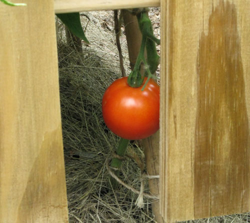 First-Tomato-09
