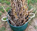 Garlic_harvest