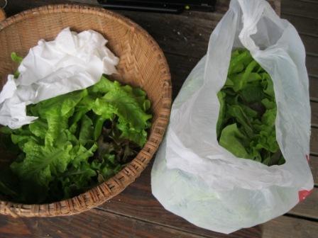 Summer_lettuce