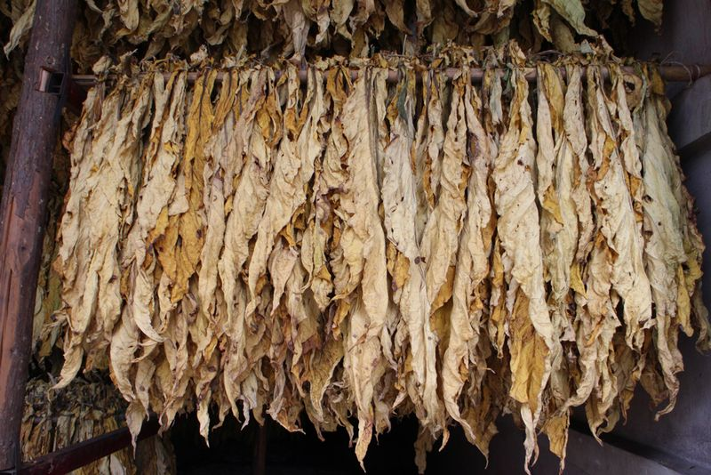 Tobacco Dried